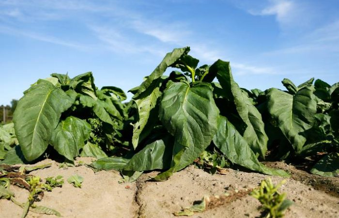 The Process of Growing Tobacco and Reasons For Growing It